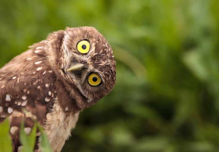 An owl is looking at you with a tilted head